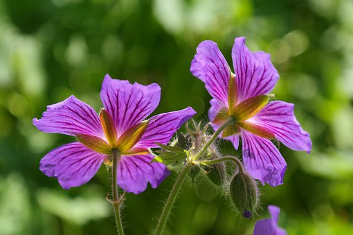 Cranesbill, Blossom, Bloom, Plant, Flower, Violet