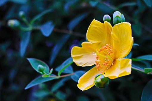 Hypericum, Flower, Tutsan, Yellow, Leaf, Environment