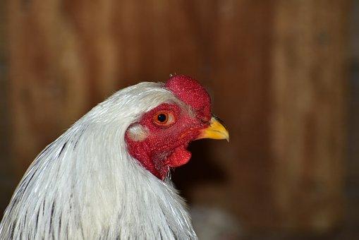Hahn, Head, Bill, Gockel, Poultry, Animal, Bird
