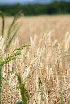 Agriculture, Food, Organic, Healthy, Grain, Wheat