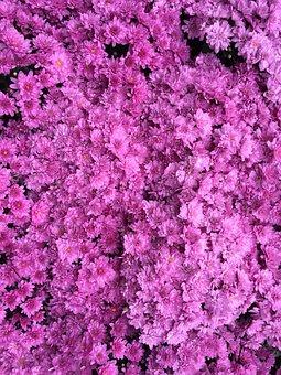 Azalea Color, Dark Pink, Hot Pink, Chrysanthemum