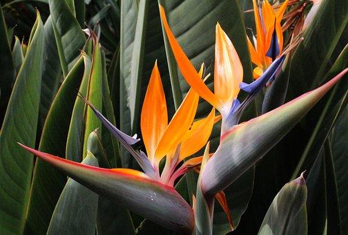 Bird Of Paradise Flower, Flora, Exotic, Summer