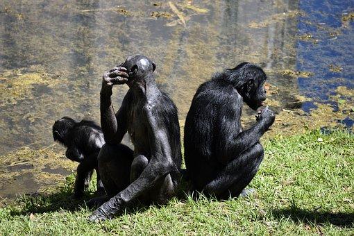 Bonobo Apes, Primate, Zoo, Animal Reserve, Monkey, Ape