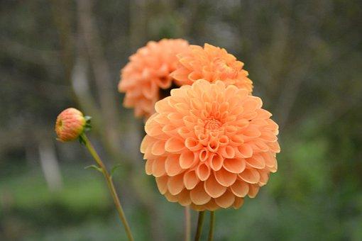 Flower, Pompom, Color Orange, Bud Flower, Button Flower