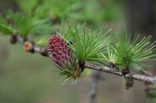 Spring, Cone Was Born, Deciduous Pine