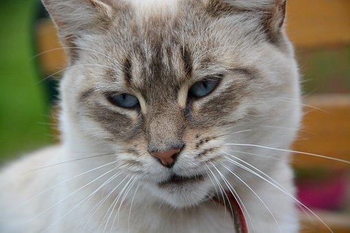 Cat, Pussy, Cat Eyes, Blue Eyes, Domestic Animal