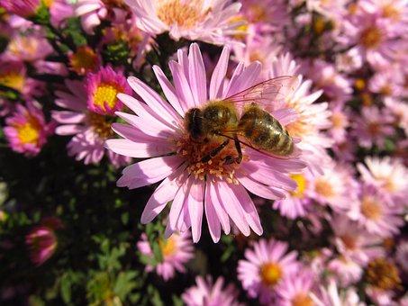 Honey Bee, Bee, Flower, Fly, Macro, Close