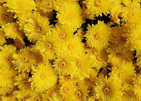 Mums, Flowers, Fall, Autumn, Blossom