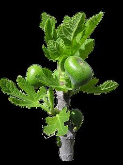 Fig, Buds, Fruit, Tree