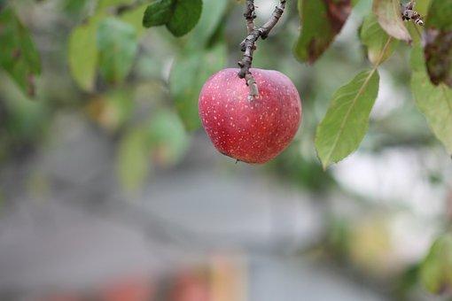 Apple, Sad, Fruit, Apples, Nature, Red, Fruit Growing