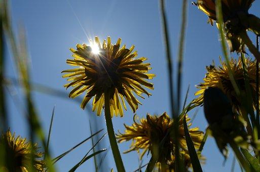 Sun, Dandelion, Grass, Summer Meadow, Nature