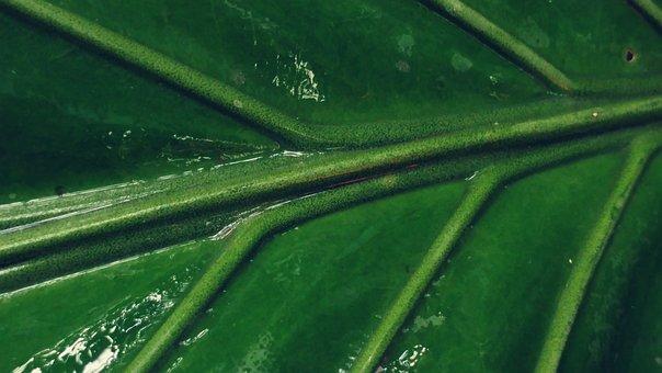 Green Leaf, Leaves, Mesopodium, Petiolus, Green, Leaf