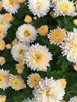 In Full Bloom, Kogiku, Fragrance, Chrysanthemum Flower