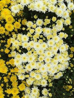 Yellow Chrysanthemums, Kogiku, Travel, White Flower