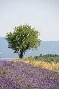 Provence, Summer, Lavender Blossom