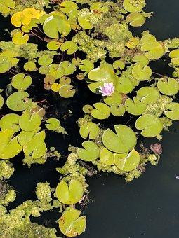 Waterlily, Pond, Flower, Lotus, Aquatic, Flora, Garden