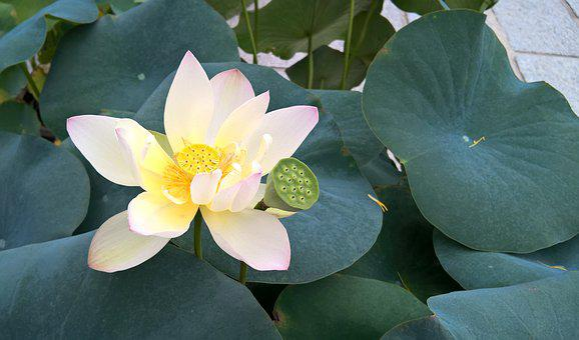 Lotus, Flower, Plant