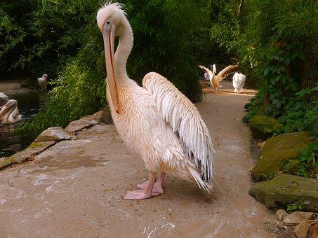 Pelikan, White Pelican, Water Bird, Bird, Pink
