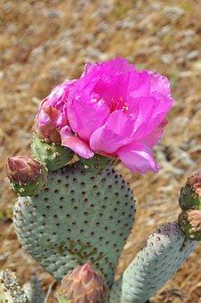 Cacti, Cactus, Desert, Pink, Plant, Succulent, Flora