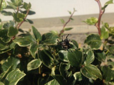 Spider, Arachnid, Web, Predator, Hairy Spider, Insect