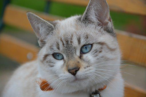Cat, Blue Eyes, Pussy, Quiet, Feline, Domestic Animal