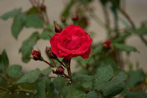 Rose, Red Rose, Red, Flowers, Romance, Love, Flower