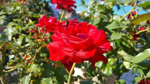 Rose, Red, Blossom, Bloom, Red Rose, Flower