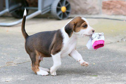 Puppy, Deutsche Bracken, Dog, Beautiful, Small Dog