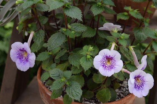 Violet, African Violet, Flower, Rare, Greenhouse