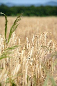 Grain, Wheat, Food, Agriculture, Nature, Farm, Field