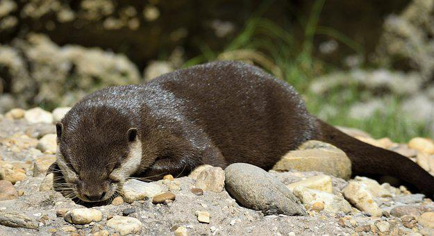 Sea Otter, Animal, Wildlife, Otter, Nature, Water, Cute
