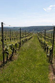 Vineyard, Grapes, Wine, Grapevine, Vine