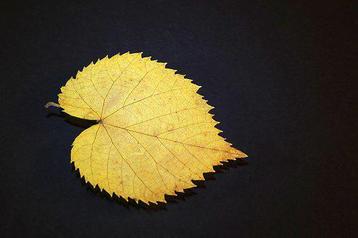 Leaf, Lipa, Yellow, Black Background, Single, Gold