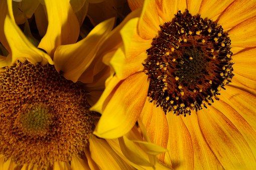 Sunflower, Flower, Orange, Yellow, Summer, Natural, Sun