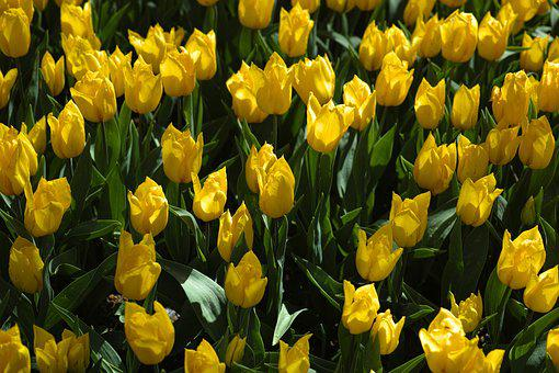 Tulips, Yellow, Nature, Yellow Tulip, Plant