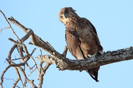 Raptor, Bird, Africa, Wildlife, Prey, Nature, Brown