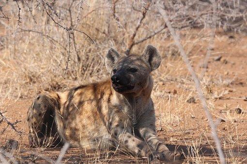 Hyena, Scavenger, Wild, Spotted, Kruger, Africa