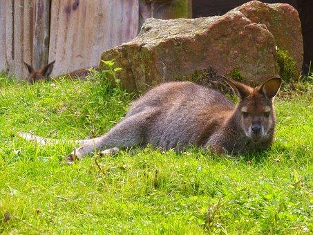 Bennett Kangaroo, Australia, Wallaby, Kangaroo
