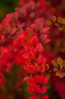 Autumn, Fall, Nature, Leaves, Red
