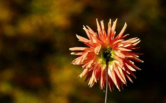Dahlia, Back, Flower, Plant, Flower Garden, Orange