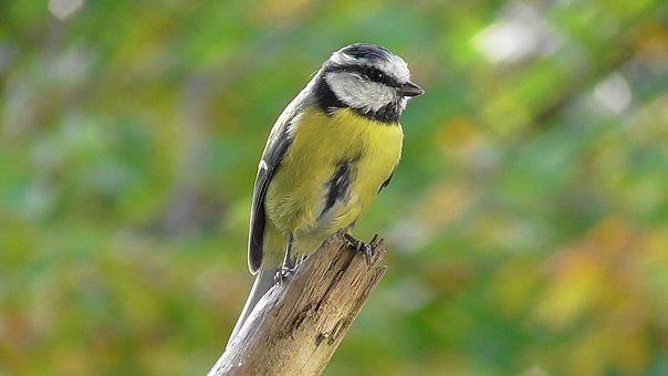 Bird, Tit, Blue Tit, Animal, Fly, Nature, Songbird