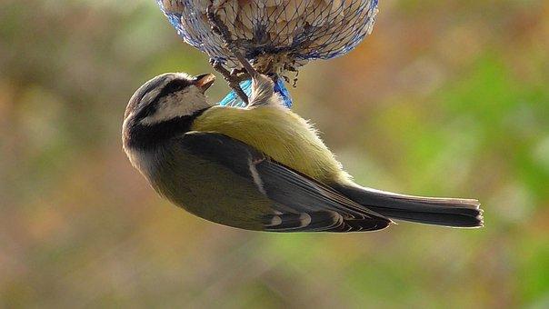Bird, Tit, Blue Tit, Songbird, Nature