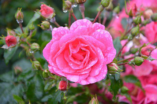 Pink, Roses, Buttons Roses, Rosebush, Bouquet, Thorns