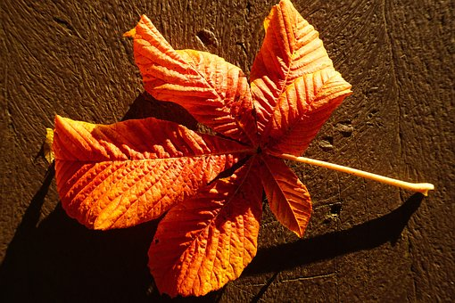 Chestnut Leaf, Red, Bright, Autumn, Fall Color