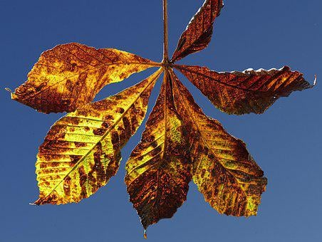 Leaf, Autumn, Fall Color, Chestnut, Chestnut Leaf