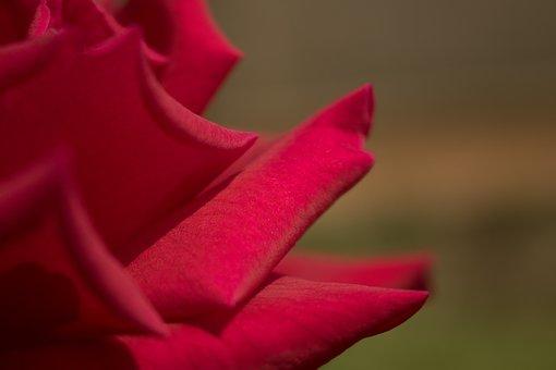 Red Rose, Closeup, Red Roses, Passion, Close