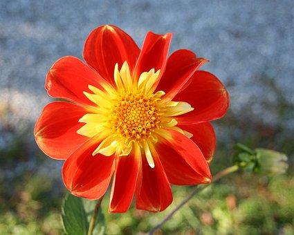 Orange, Dahlias, Flowers, Autumn, Garden