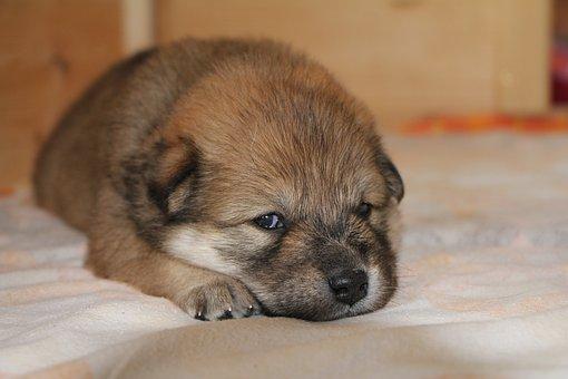 Puppy, Eurasians, Dog, Pet, Cute, Dog Breed