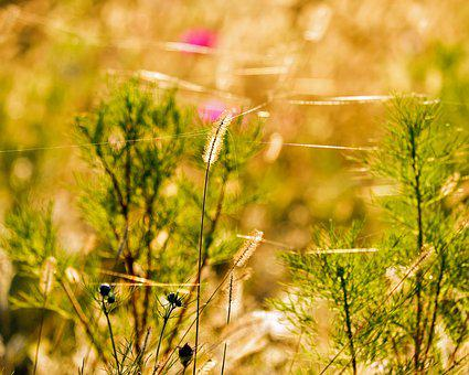 Foxtail, Meadow Fox-tail, Plant, Lights Up, Evening Sun