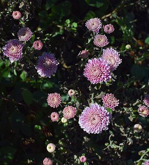 Fall Pink-purple Mums, Chrysanthemum, Flower, Blossom